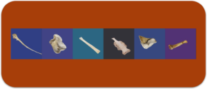 Virtual 3D Animal Bone Models